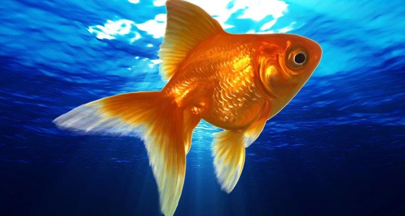 Кому золотую рыбку?